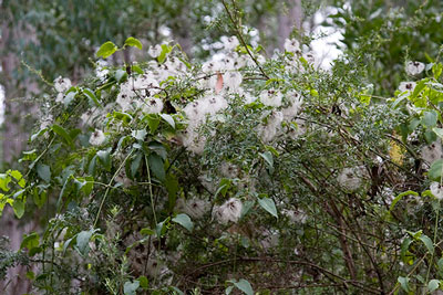 Old man's beard seeding (clematis vitalba)