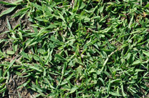 what is crabgrass picture